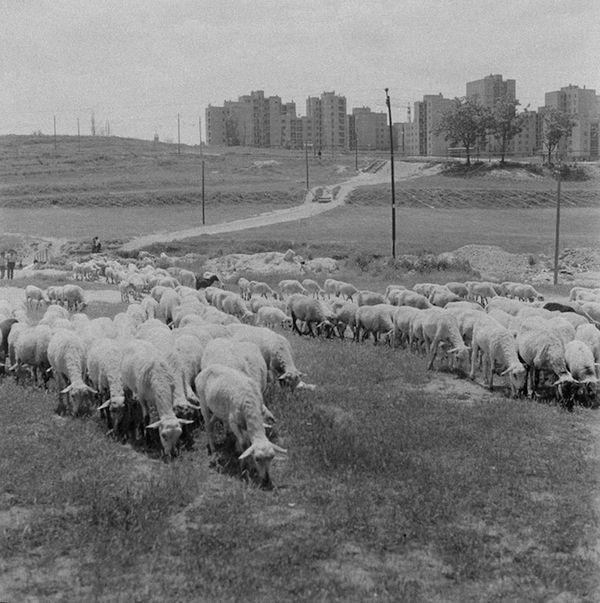 Pastando en Usera (Anónimo)