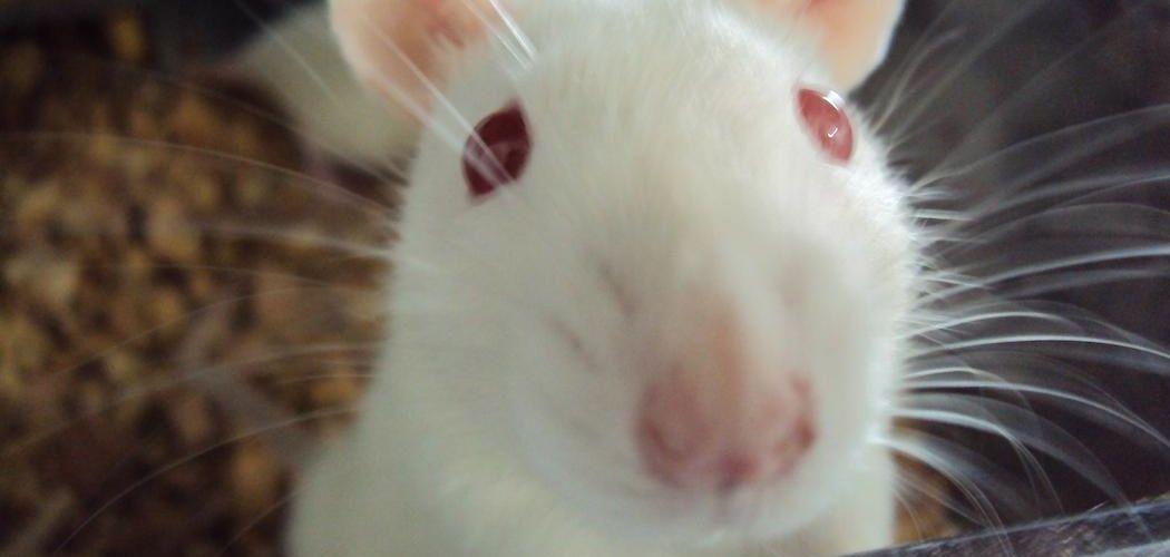 Las ratitas wister